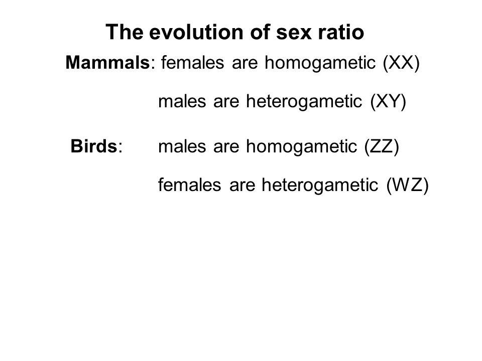 Mammals: females are homogametic (XX) males are heterogametic (XY) Birds: males are homogametic (ZZ) females are heterogametic (WZ) The evolution of sex ratio