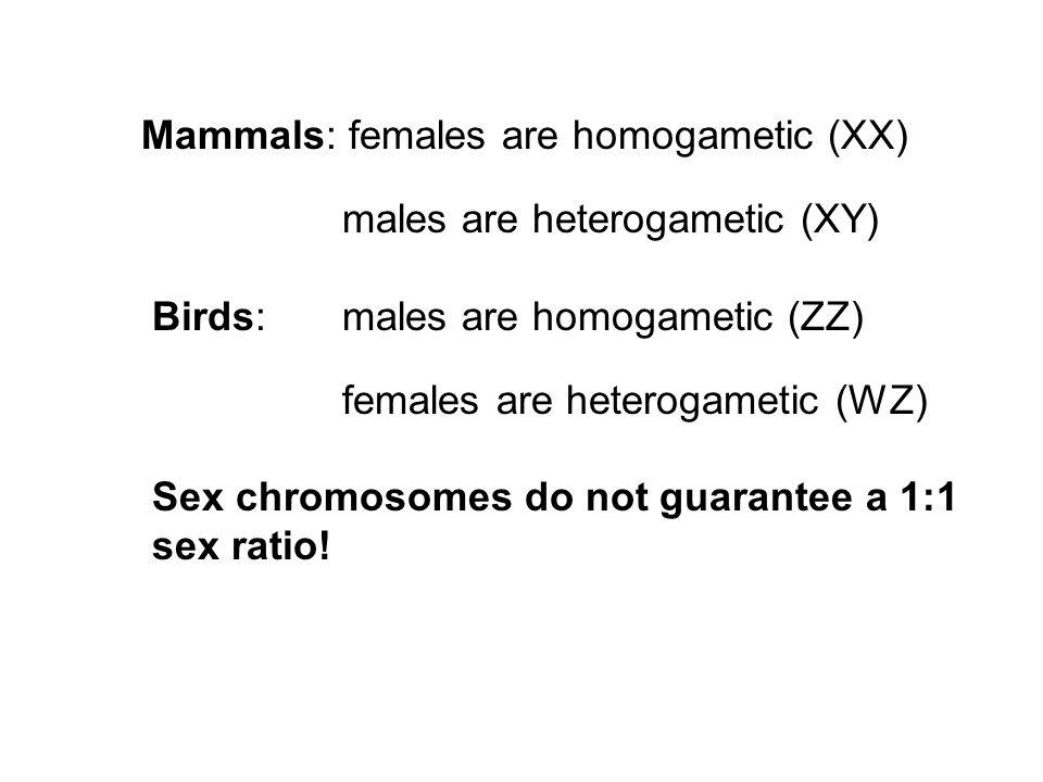 Mammals: females are homogametic (XX) males are heterogametic (XY) Birds: males are homogametic (ZZ) females are heterogametic (WZ) Sex chromosomes do not guarantee a 1:1 sex ratio!