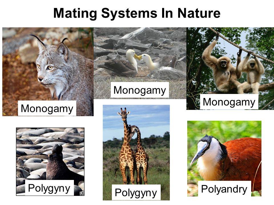 Polygyny Monogamy Polyandry Monogamy Mating Systems In Nature