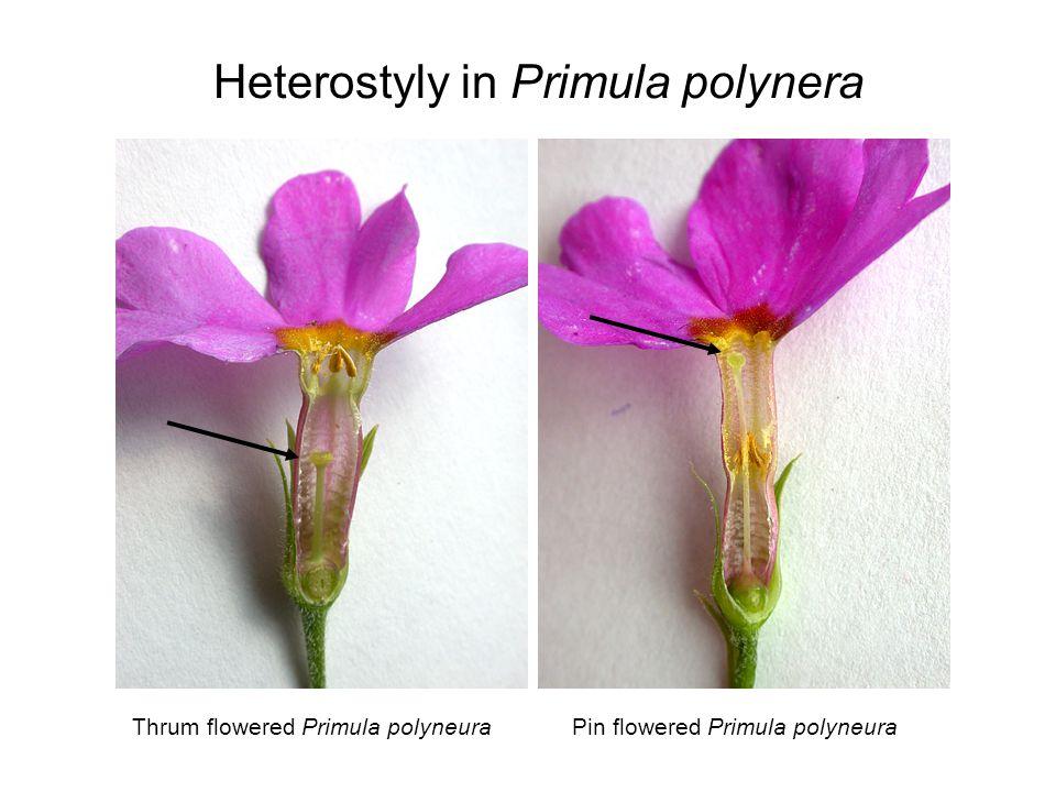 Thrum flowered Primula polyneuraPin flowered Primula polyneura Heterostyly in Primula polynera