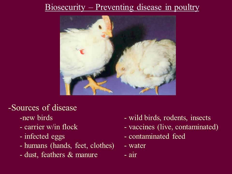 Biosecurity – Preventing disease in poultry -Sources of disease -new birds- wild birds, rodents, insects - carrier w/in flock- vaccines (live, contami