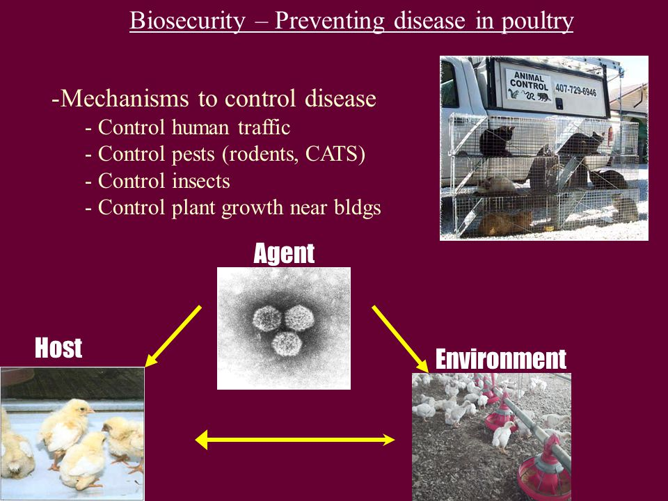 Biosecurity – Preventing disease in poultry -Mechanisms to control disease - Control human traffic - Control pests (rodents, CATS) - Control insects - Control plant growth near bldgs Agent Environment Host