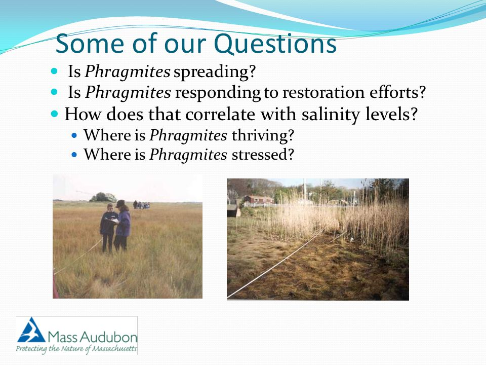 Phragmites prefers water with lower salinity, and has a harder time growing in salinities > 20 ppt (Rozsa 1995) Phragmites would grow taller in areas with lower salinity.
