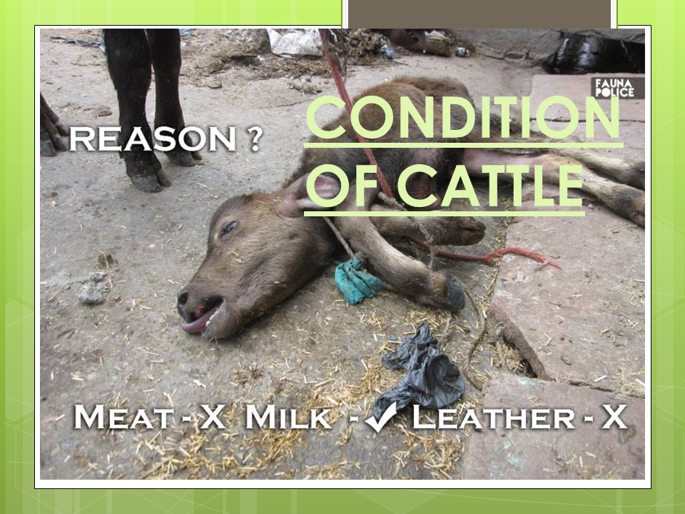 CONDITION OF CATTLE