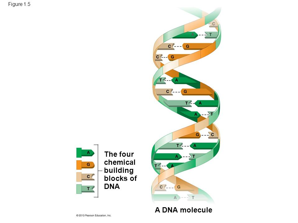 Figure 1.5 A DNA molecule The four chemical building blocks of DNA