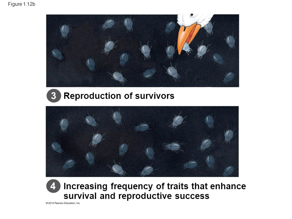 Figure 1.12b Increasing frequency of traits that enhance survival and reproductive success Reproduction of survivors 3 4