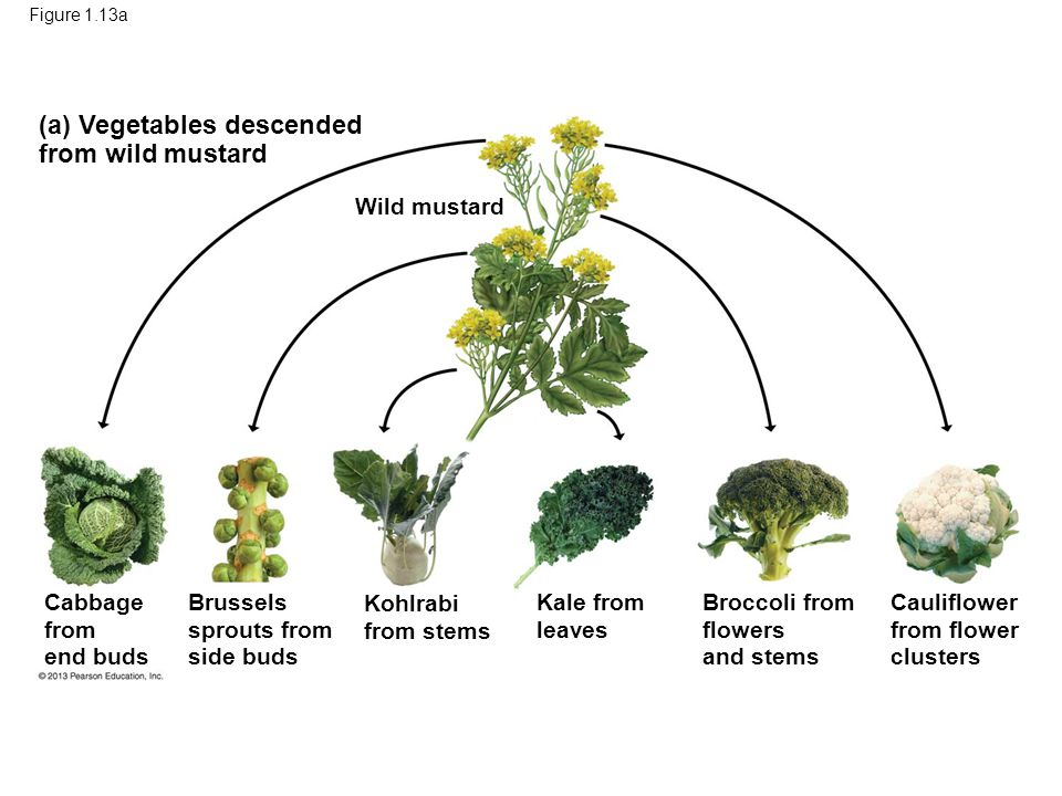 Figure 1.13a (a) Vegetables descended from wild mustard Wild mustard Cabbage from end buds Cauliflower from flower clusters Broccoli from flowers and