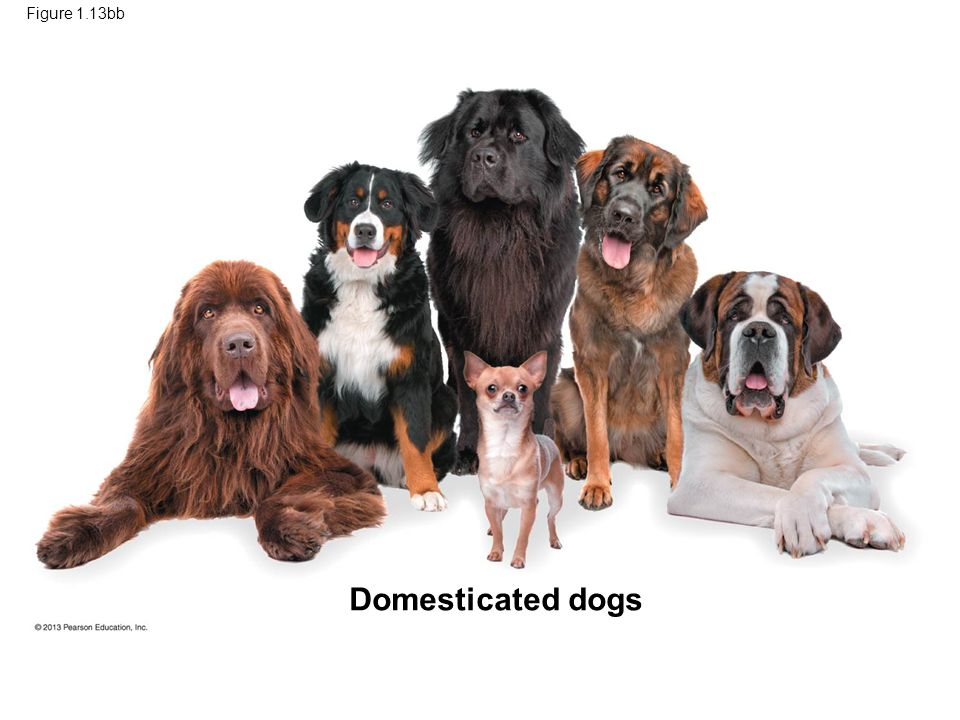 Figure 1.13bb Domesticated dogs
