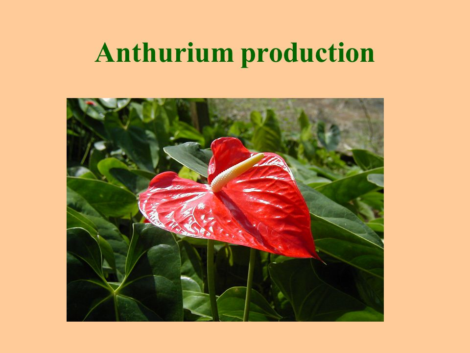 Anthurium production