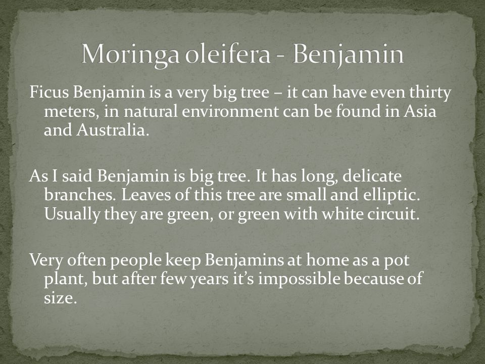 Ficus Benjamin is a very big tree – it can have even thirty meters, in natural environment can be found in Asia and Australia. As I said Benjamin is b