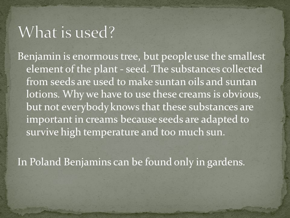 Benjamin is enormous tree, but people use the smallest element of the plant - seed. The substances collected from seeds are used to make suntan oils a