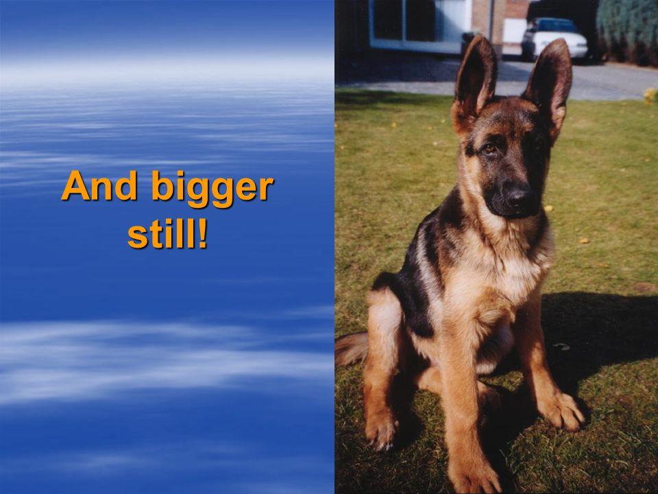 The ears grow bigger…