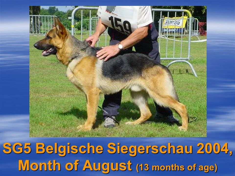 And finally, the Belgian Siegerschau! (SV-Judge L. Schweikert)