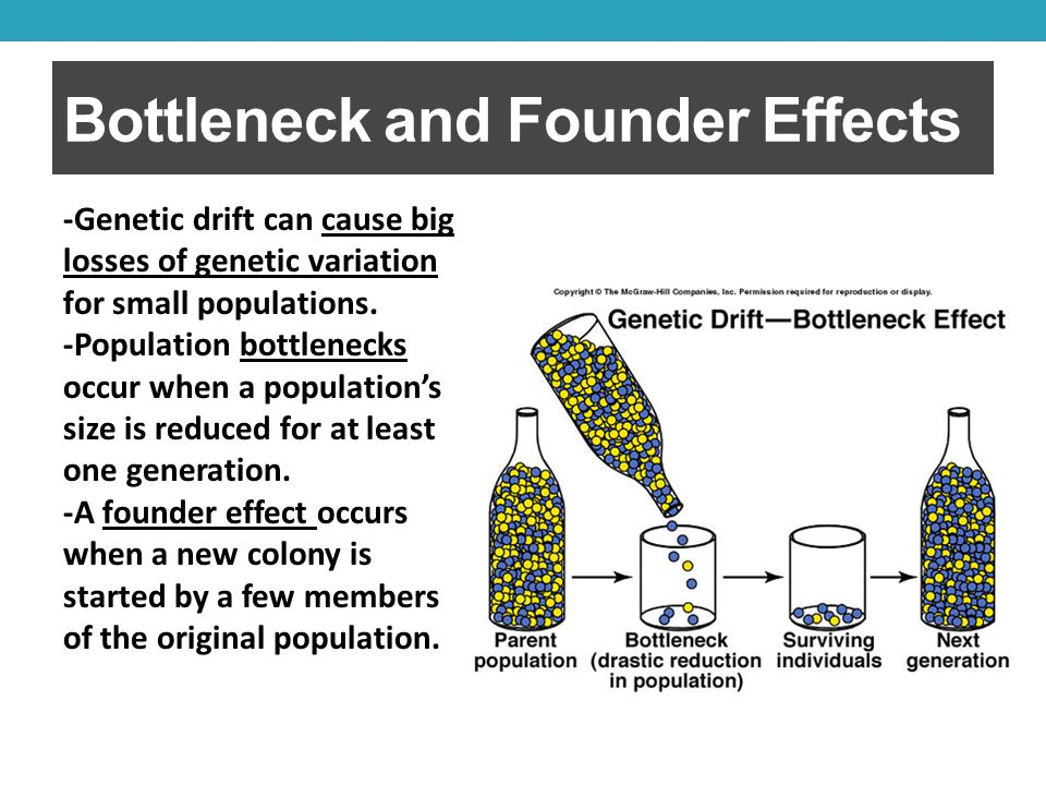 Bottleneck and Founder Effects -Genetic drift can cause big losses of genetic variation for small populations.