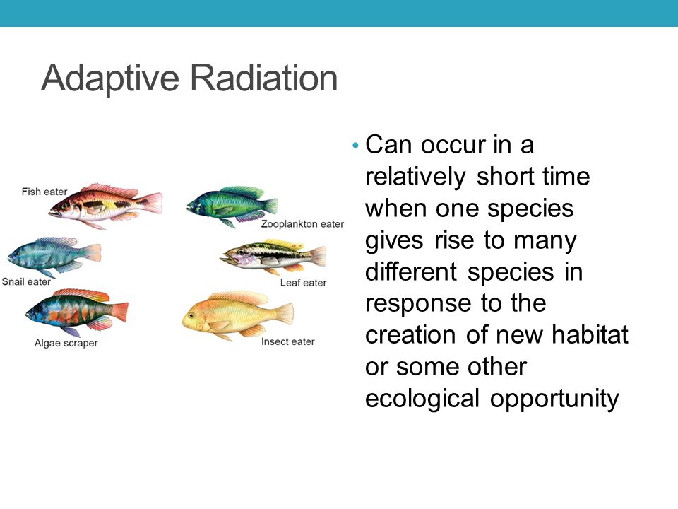 Adaptive Radiation Can occur in a relatively short time when one species gives rise to many different species in response to the creation of new habitat or some other ecological opportunity