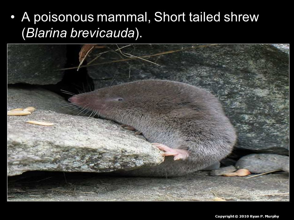 A poisonous mammal, Short tailed shrew (Blarina brevicauda). Copyright © 2010 Ryan P. Murphy