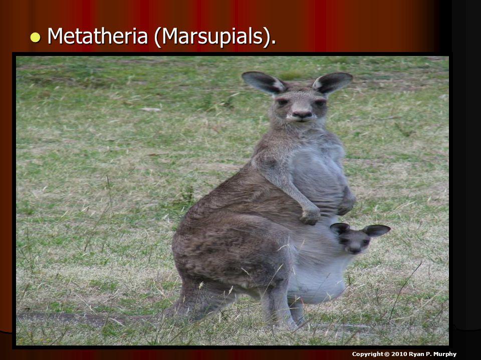 Metatheria (Marsupials). Metatheria (Marsupials). Copyright © 2010 Ryan P. Murphy