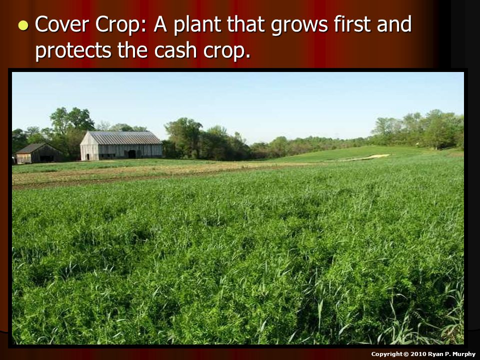 Cover Crop: A plant that grows first and protects the cash crop.