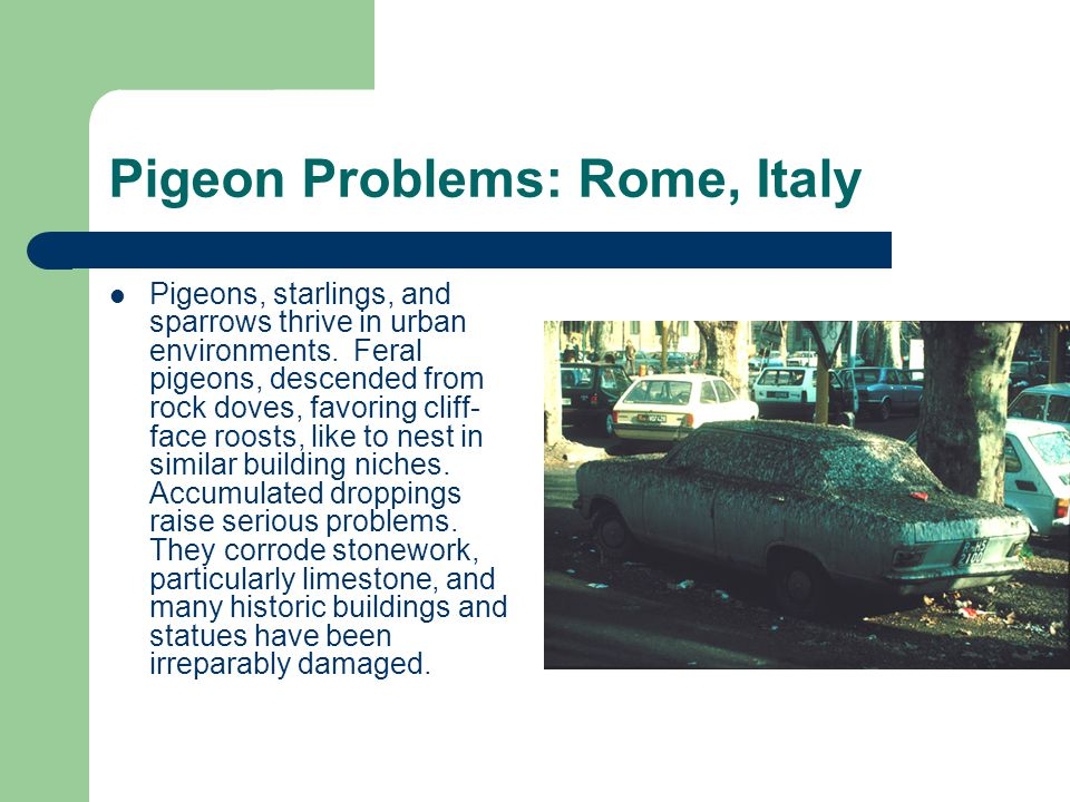 Pigeons, starlings, and sparrows thrive in urban environments.