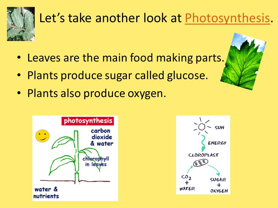 Let's take another look at Photosynthesis.Photosynthesis Leaves are the main food making parts.