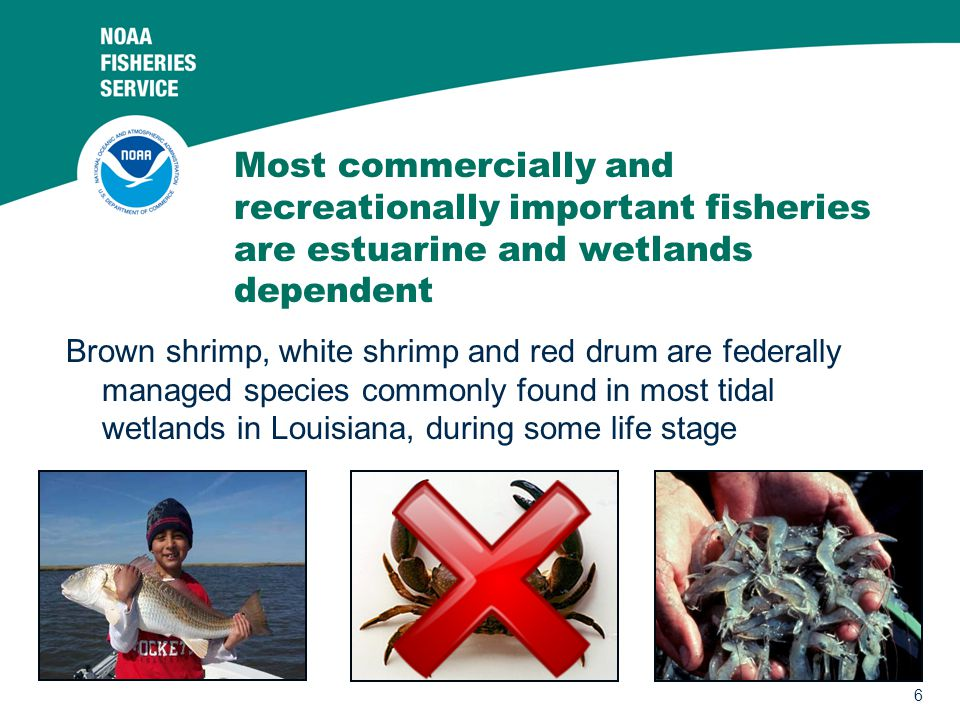 6 Most commercially and recreationally important fisheries are estuarine and wetlands dependent Brown shrimp, white shrimp and red drum are federally
