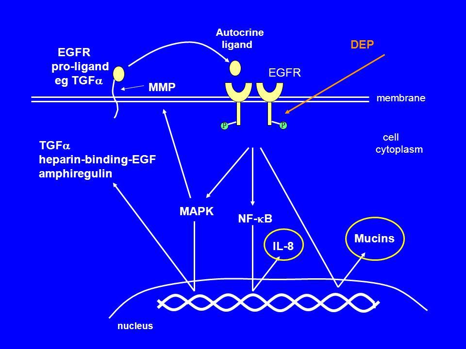 cell cytoplasm membrane NF-  B IL-8 MAPK DEP TGF  heparin-binding-EGF amphiregulin MMP EGFR pro-ligand eg TGF  Autocrine ligand EGFR Mucins P P nucleus
