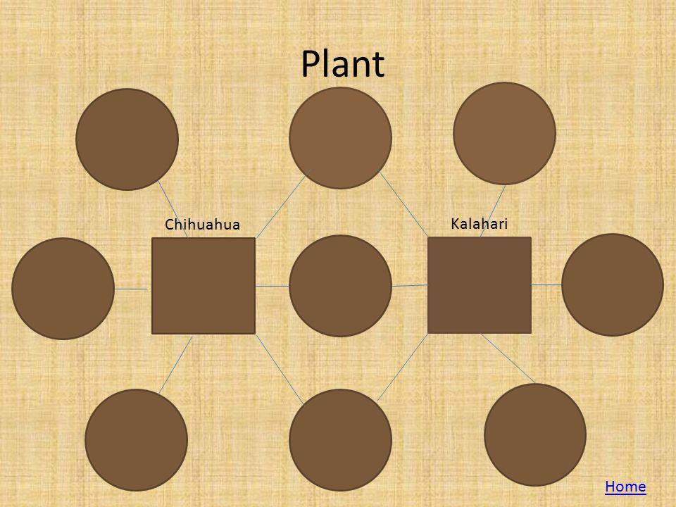 Plant Chihuahua Kalahari Home
