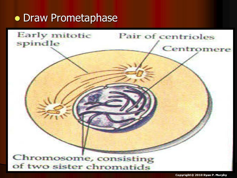 Draw Prometaphase Draw Prometaphase Copyright © 2010 Ryan P. Murphy