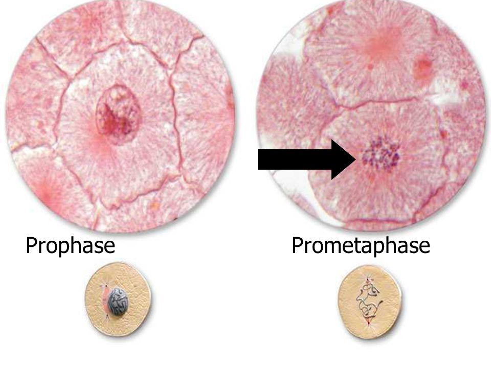 ProphasePrometaphase
