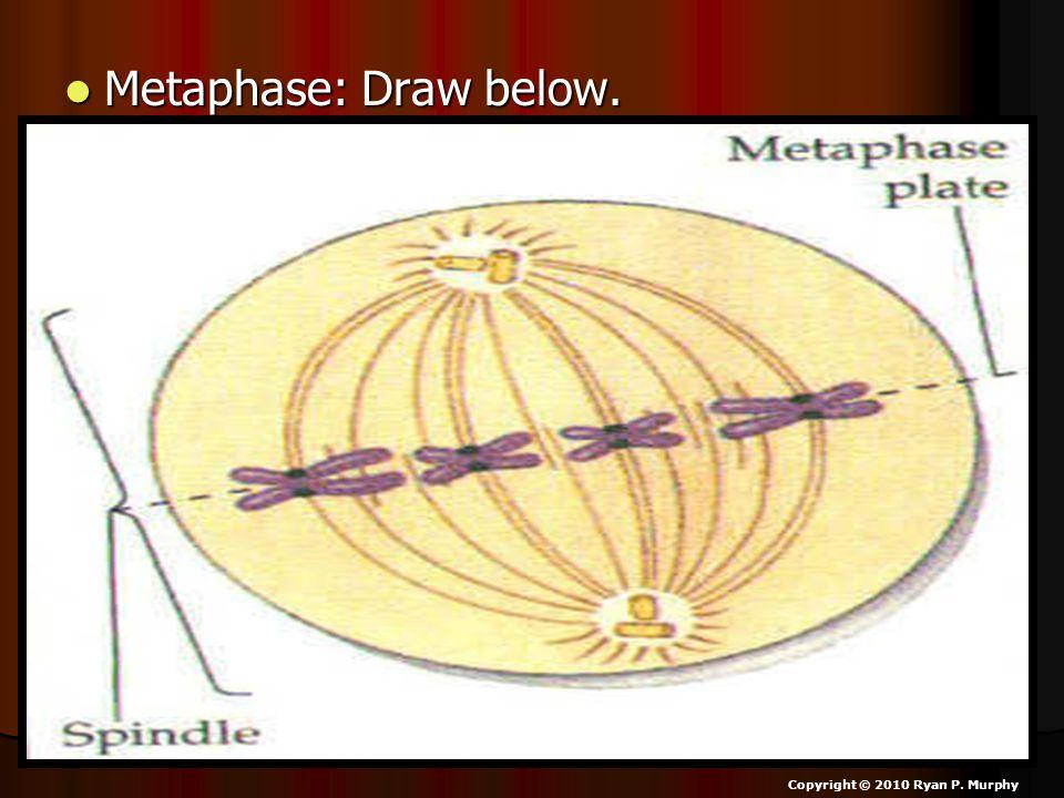 Metaphase: Draw below. Metaphase: Draw below. Copyright © 2010 Ryan P. Murphy