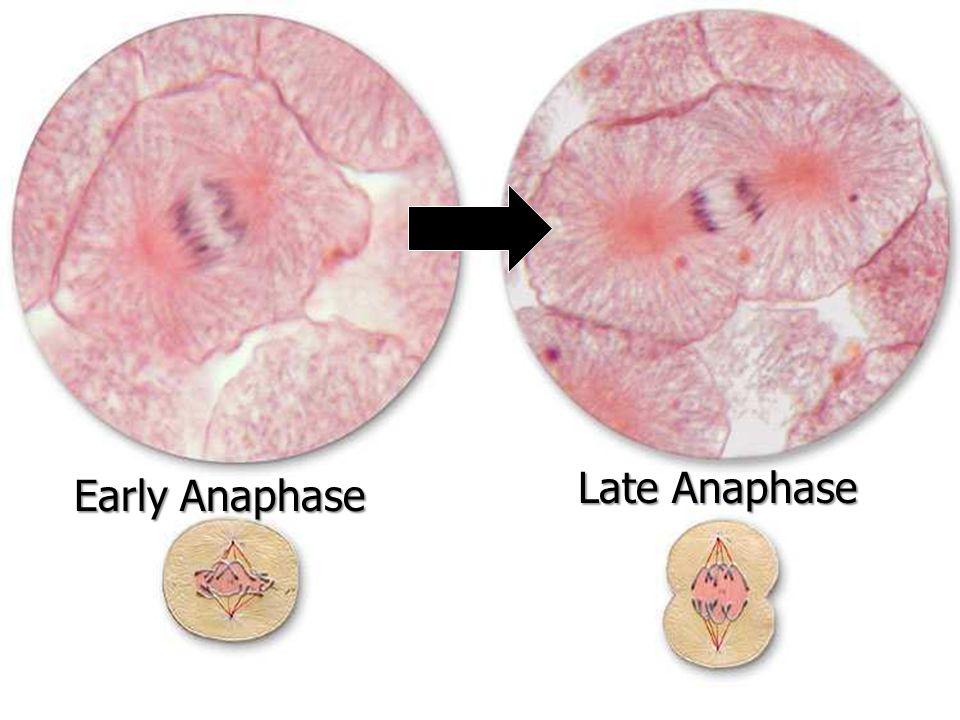 Early Anaphase Late Anaphase
