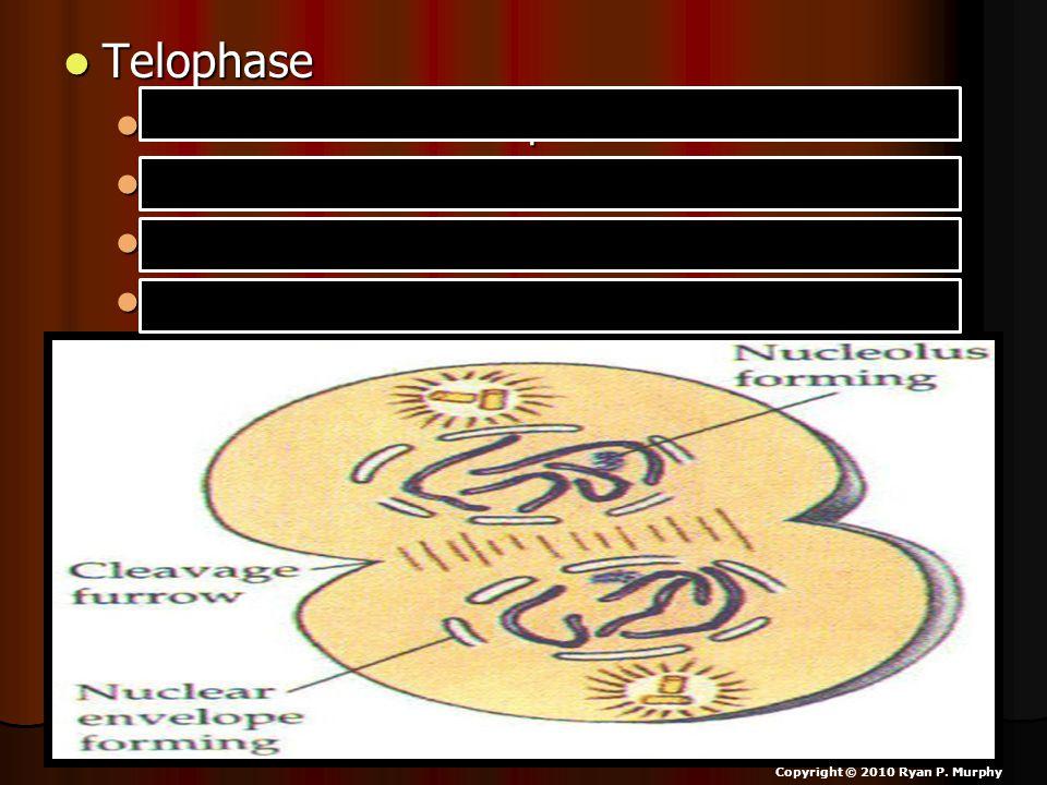 Telophase Telophase Chromosomes reach poles. Chromosomes reach poles. Nuclear membrane begins to form. Nuclear membrane begins to form. Cleavage furro