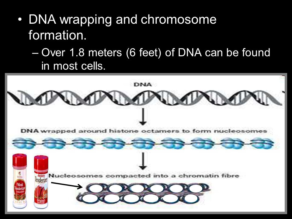 DNA wrapping and chromosome formation. –Over 1.8 meters (6 feet) of DNA can be found in most cells.