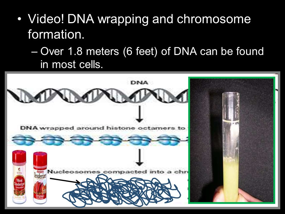 Video! DNA wrapping and chromosome formation. –Over 1.8 meters (6 feet) of DNA can be found in most cells.