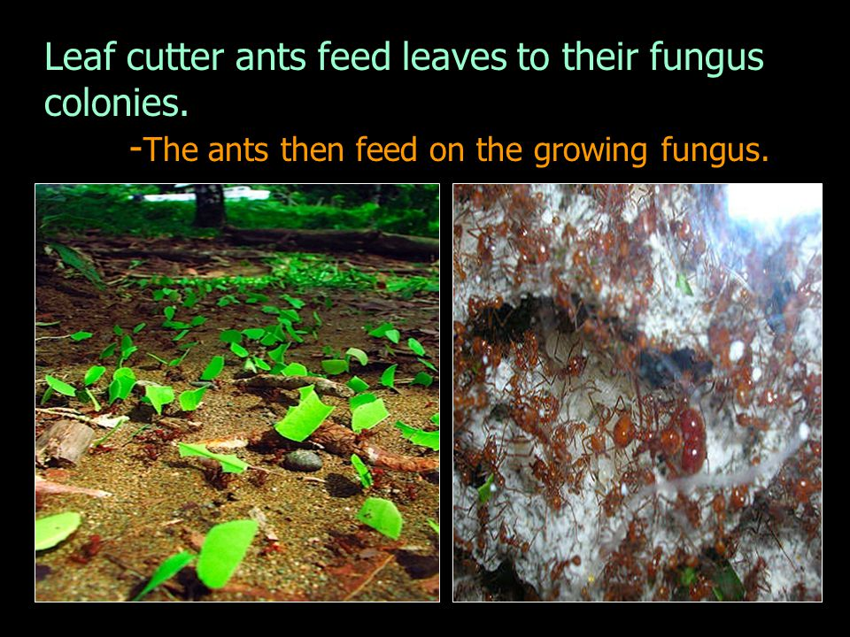 Leaf cutter ants feed leaves to their fungus colonies. - The ants then feed on the growing fungus.