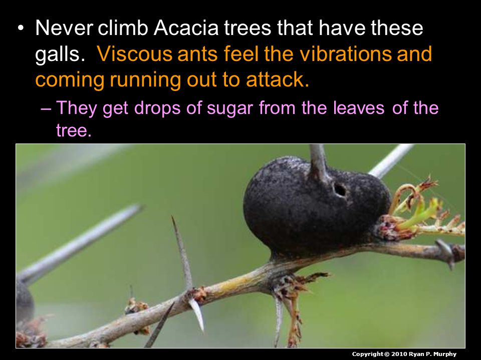 Never climb Acacia trees that have these galls. Viscous ants feel the vibrations and coming running out to attack. –They get drops of sugar from the l