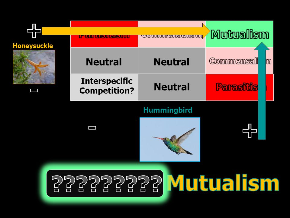 Neutral Interspecific Competition? Honeysuckle Hummingbird