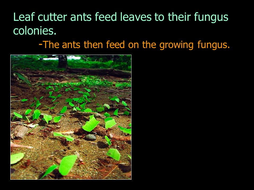 - The ants then feed on the growing fungus.