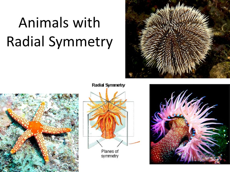 Animals with Radial Symmetry