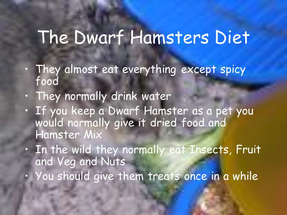 The Dwarf Hamsters Diet They almost eat everything except spicy food They normally drink water If you keep a Dwarf Hamster as a pet you would normally