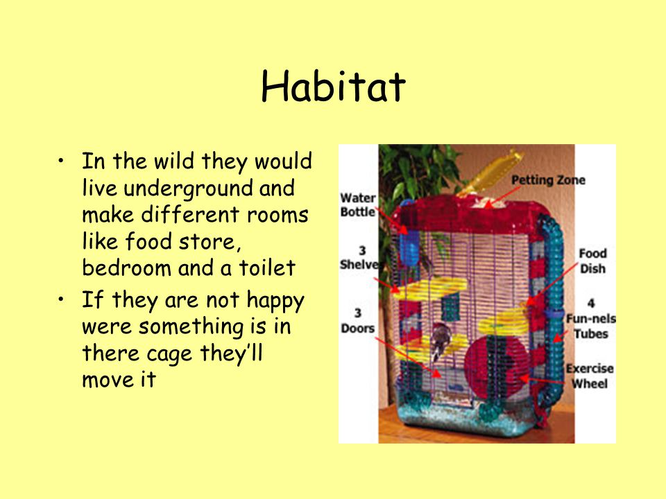 Habitat In the wild they would live underground and make different rooms like food store, bedroom and a toilet If they are not happy were something is