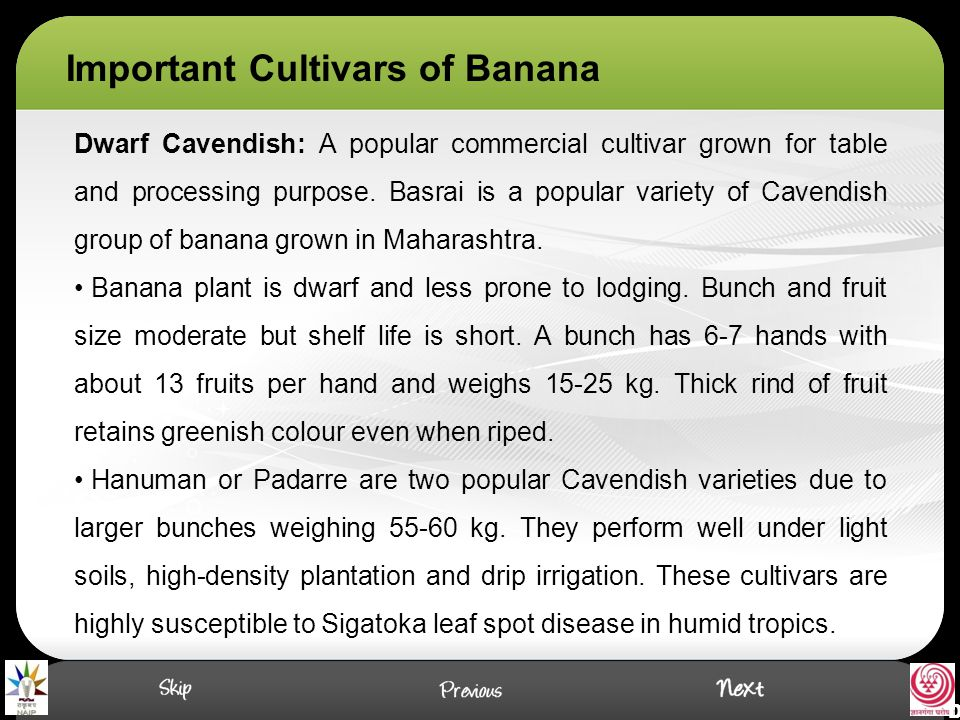 Important Cultivars of Banana Dwarf Cavendish: A popular commercial cultivar grown for table and processing purpose. Basrai is a popular variety of Ca