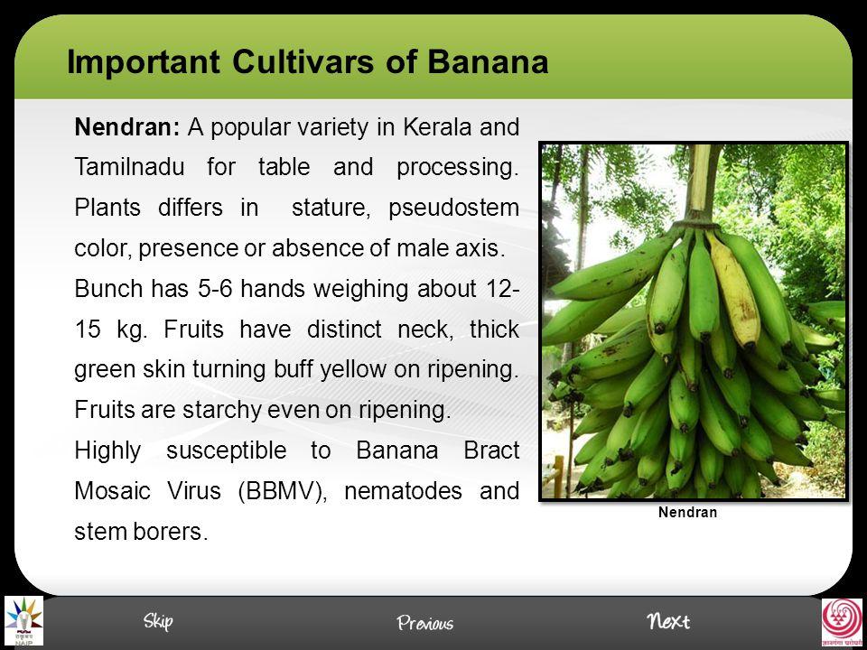 Red Banana: Red banana is a prized variety of Kerala and Tamil Nadu especially grown in Kanyakumari and Tirunelveli districts of Tamil Nadu.