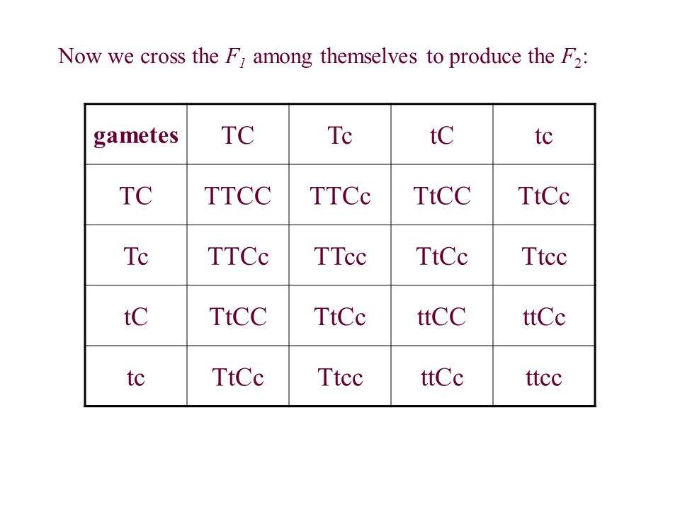 Now we cross the F 1 among themselves to produce the F 2 : gametes TCTctCtc TCTTCCTTCcTtCCTtCc TcTTCcTTccTtCcTtcc tCTtCCTtCcttCCttCc tcTtCcTtccttCcttc
