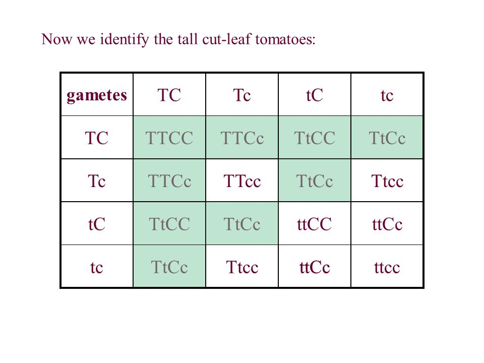 Now we identify the tall cut-leaf tomatoes: gametes TCTctCtc TCTTCCTTCcTtCCTtCc TcTTCcTTccTtCcTtcc tCTtCCTtCcttCCttCc tcTtCcTtccttCcttcc ttCc