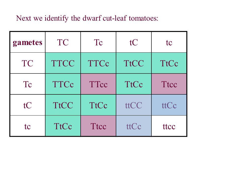 Next we identify the dwarf cut-leaf tomatoes: gametes TCTctCtc TCTTCCTTCcTtCCTtCc TcTTCcTTccTtCcTtcc tCTtCCTtCcttCCttCc tcTtCcTtccttCcttcc