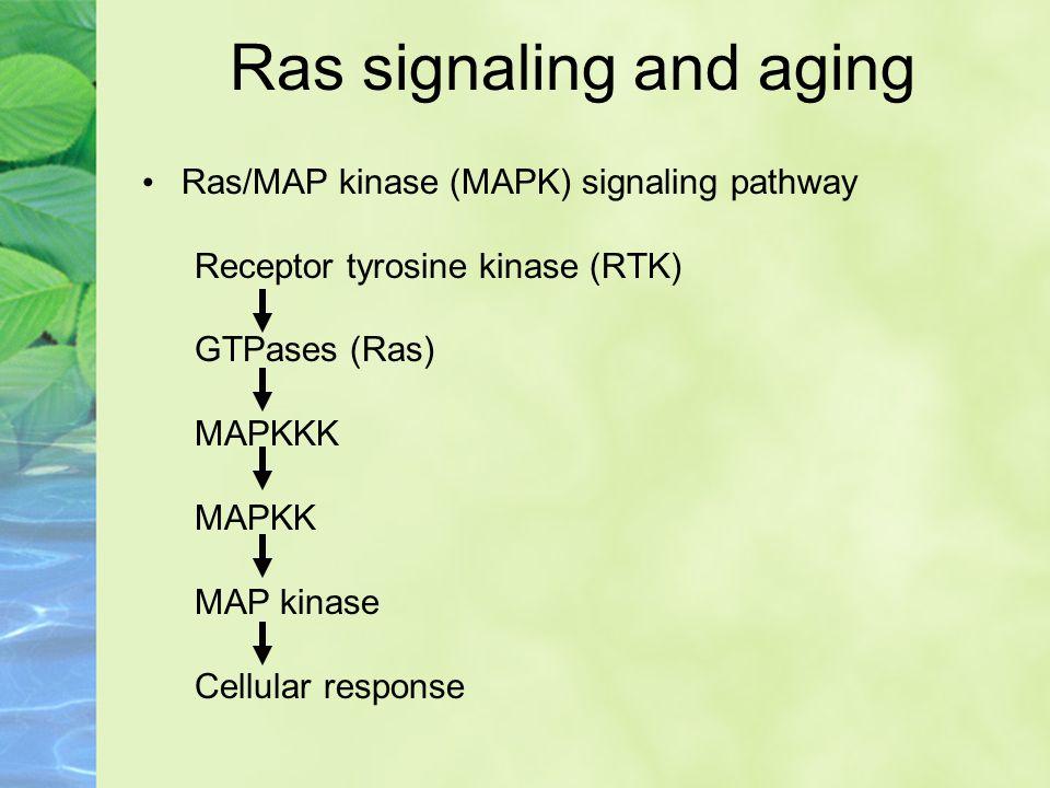 Ras/MAP kinase (MAPK) signaling pathway Receptor tyrosine kinase (RTK) GTPases (Ras) MAPKKK MAPKK MAP kinase Cellular response Ras signaling and aging