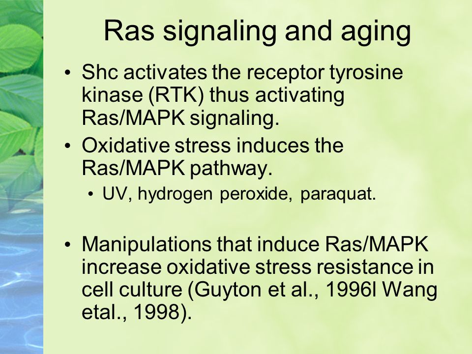 Shc activates the receptor tyrosine kinase (RTK) thus activating Ras/MAPK signaling. Oxidative stress induces the Ras/MAPK pathway. UV, hydrogen perox