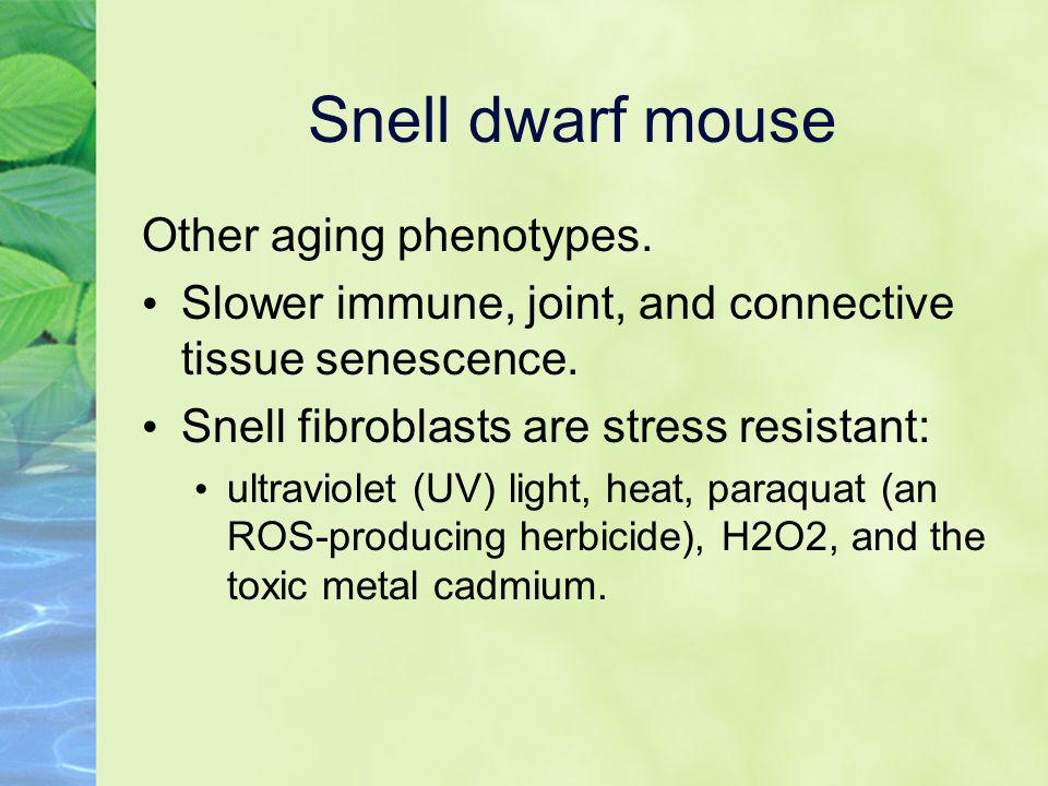 Snell dwarf mouse Other aging phenotypes. Slower immune, joint, and connective tissue senescence.