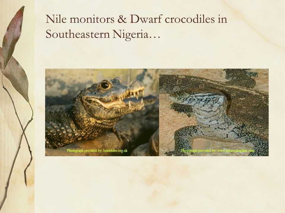 Nile monitors & Dwarf crocodiles in Southeastern Nigeria… Photograph provided by: bristolzoo.org.ukPhotograph provided by: www.houseofreptiles.com